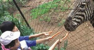 Memberi makan kuda zebra di Kebun binatang Bandung