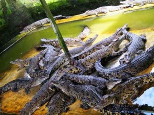 Crocodile Breeding Indonesia