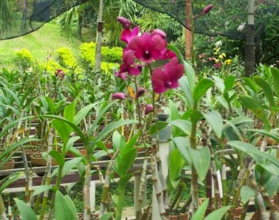 Bunga anggrek Pasirmukti